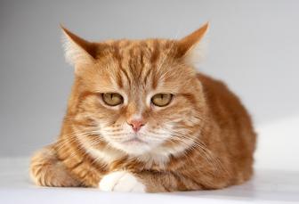Кошки тигрового раскраска