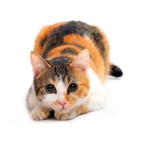 Сонник кошки черная
