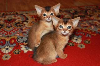 Абиссинский кот характер