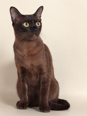 Бурманская кошка бурма