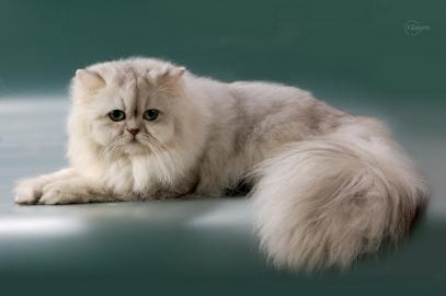 Коты персидская шиншилла